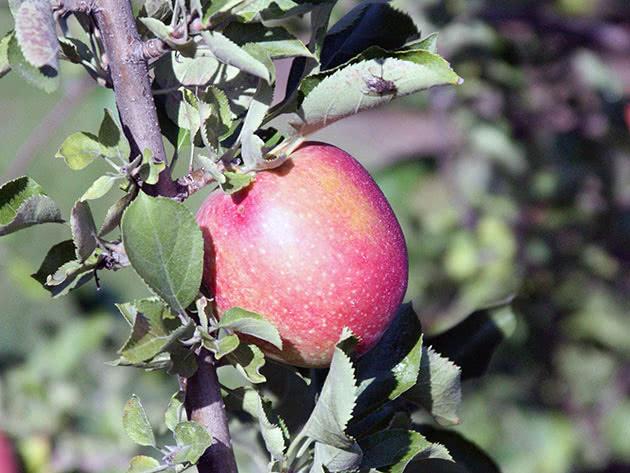 Яблоко на ветке