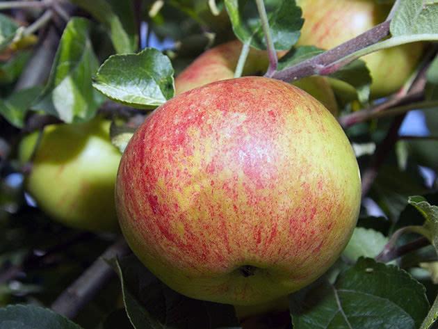 Спелое яблоко на дереве