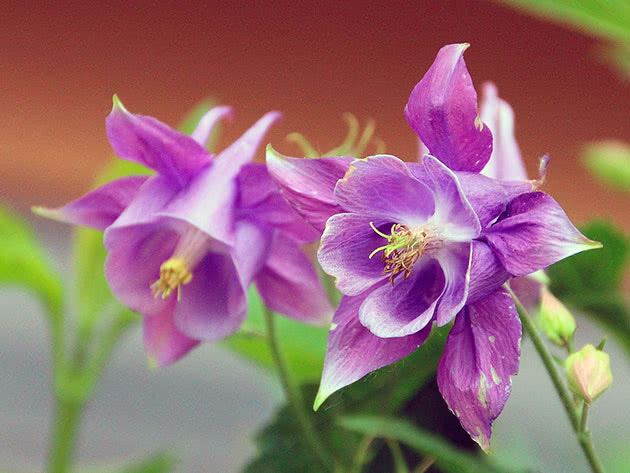 Aquilegia Planting And Care Growing From Seeds Columbine Growing Photo