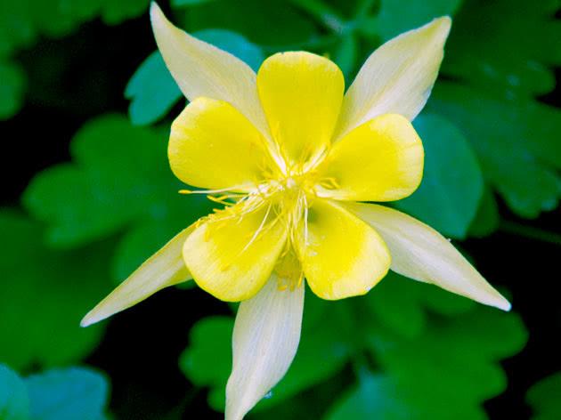 Орлики золотистоквіткові / Aquilegia chrysantha