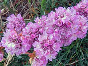 Квітка армерія