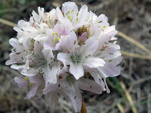 Цветок армерия