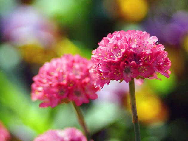 Растение армерия