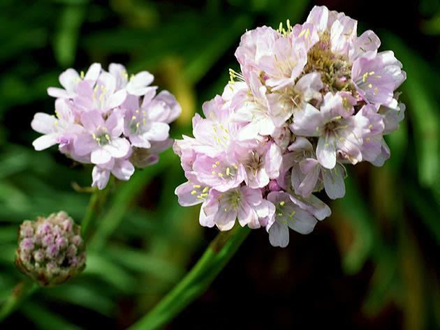 Армерія альпійська / Armeria alpina