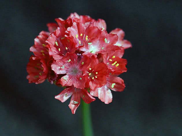 Армерия обыкновенная, садовая / Armeria vulgaris