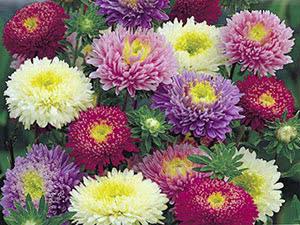 Квіти айстри