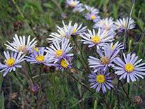 Italian aster or European Michaelmas-daisy (Aster amellus)