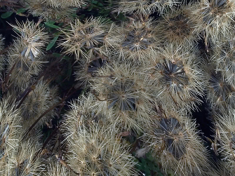 Seeds of asters