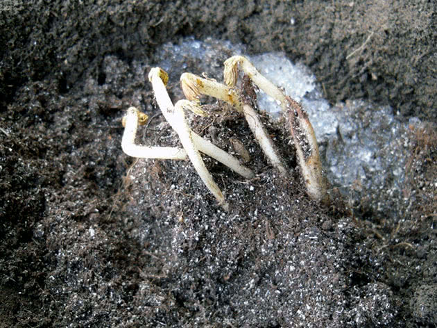 Planting of the rhizome of Astilba