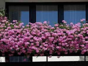 Азалія на балконі