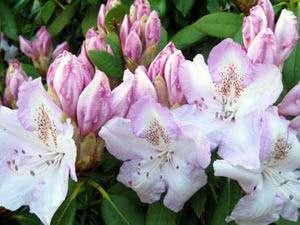 Квітуча азалія