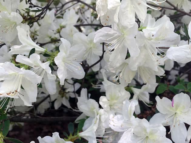 Уход за азалией во время цветения