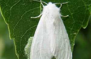 Фото білого американського метелика
