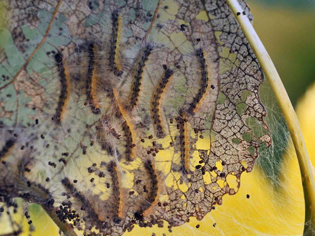 Гусеницы уничтожают листья