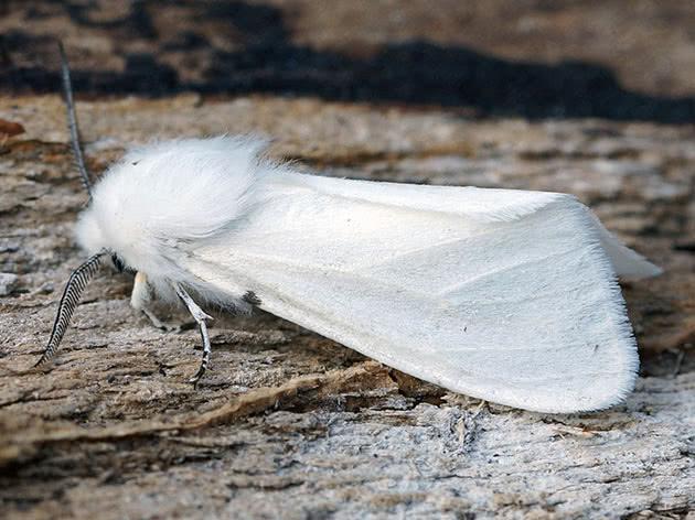Мотылек белой американской бабочки
