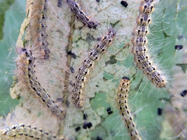 Гусеницы поедают лист