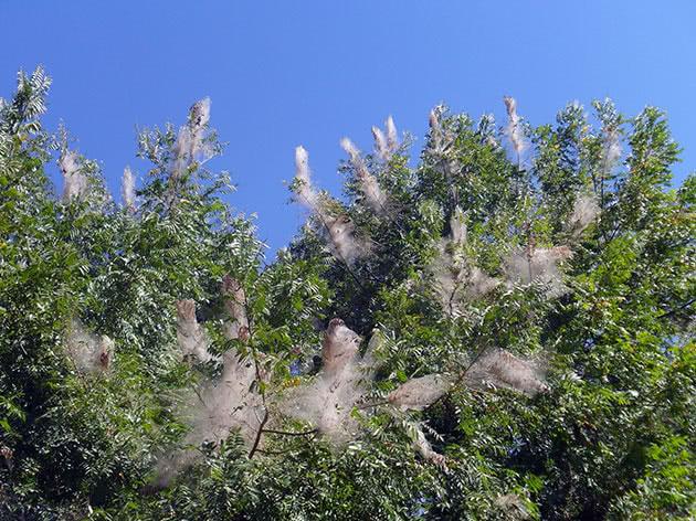 Колонии американской бабочки на деревьях