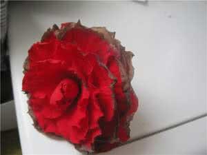 Квіти бегонії темніють
