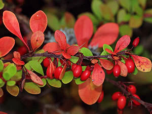 Садовый барбарис