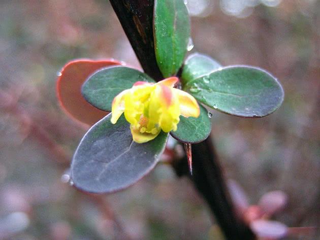 Квітучий барбарис