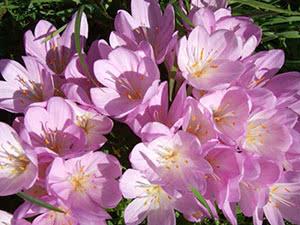Цветок безвременник осенний