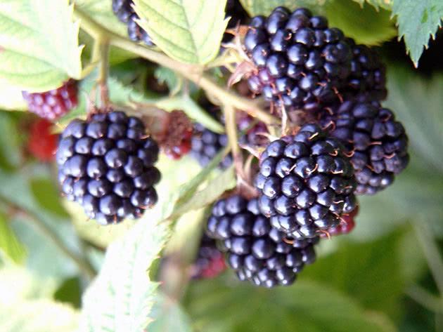 Стиглі ягоди садової ожини