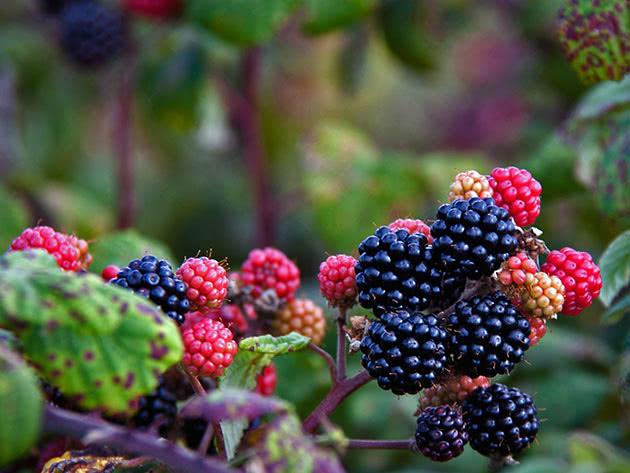 Гілка садової ожини з ягодами