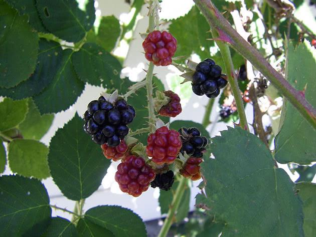 Дрібні ягоди ожини