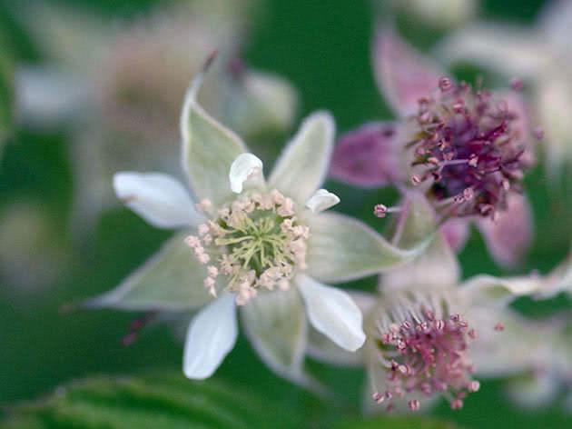 Цвітіння ожини садової