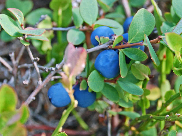 Large blueberry berries on the bush