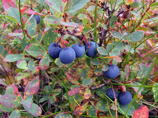 Ripe blueberries on the bush
