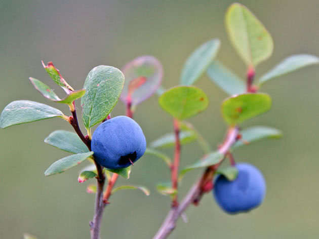 Blueberry berry on the bush