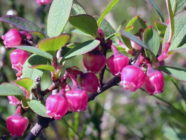 Flowering bush of garden blueberry