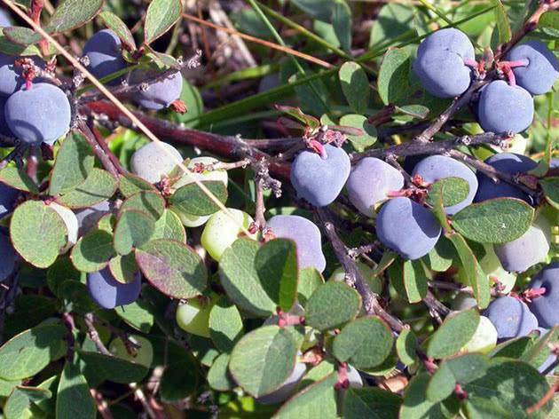 Fruiting garden blueberries