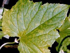 Мозаїчна хвороба рослин