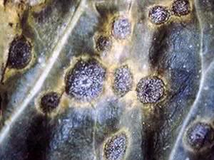 Вірусні хвороби кімнатних рослин
