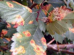 Іржа листя