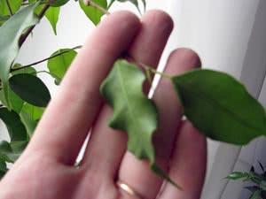 Курчавість листя рослин