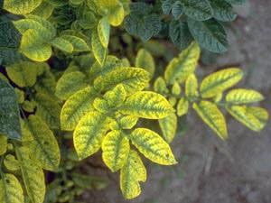 Жовтуха рослин