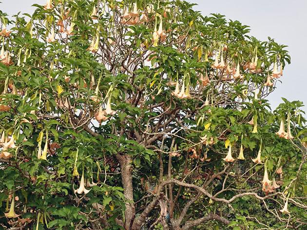 Дерево бругмансия