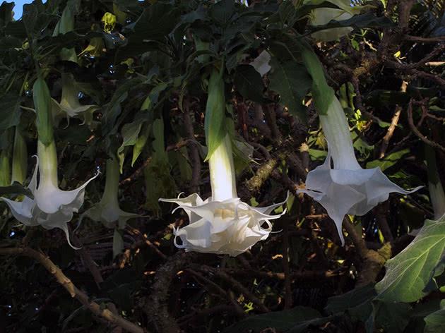 Бругмансия белоснежная / Brugmansia candida
