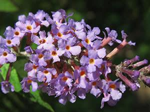 Цветок будлея