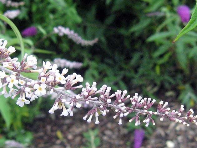 Будлея білоквіткова / Buddleja albiflora