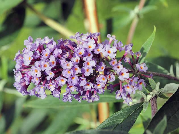 Будлея черговолиста / Buddleja alternifolia