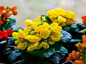 Квітка кальцеолярія