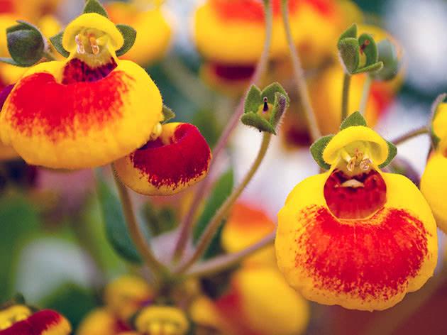 Квітуча кальцеолярія