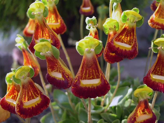 Растение кальцеолярия