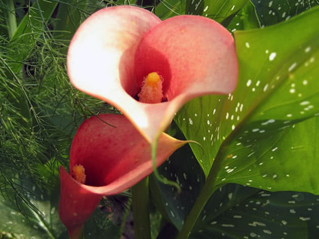 Indoor calla