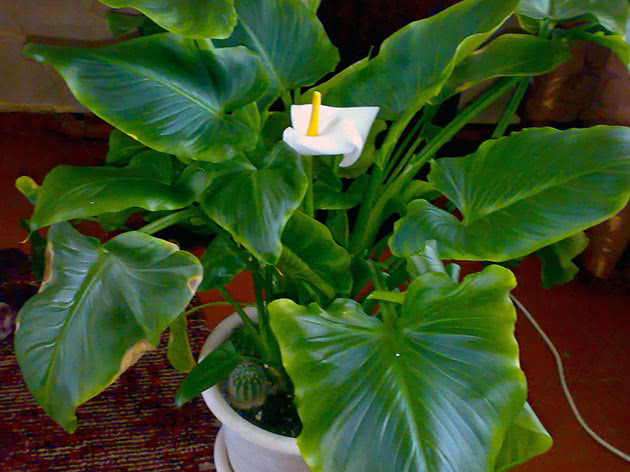 Calla blooms – what to do