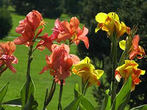 Квіти канни